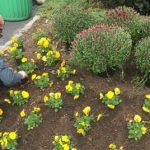 yellow flowers in a garden