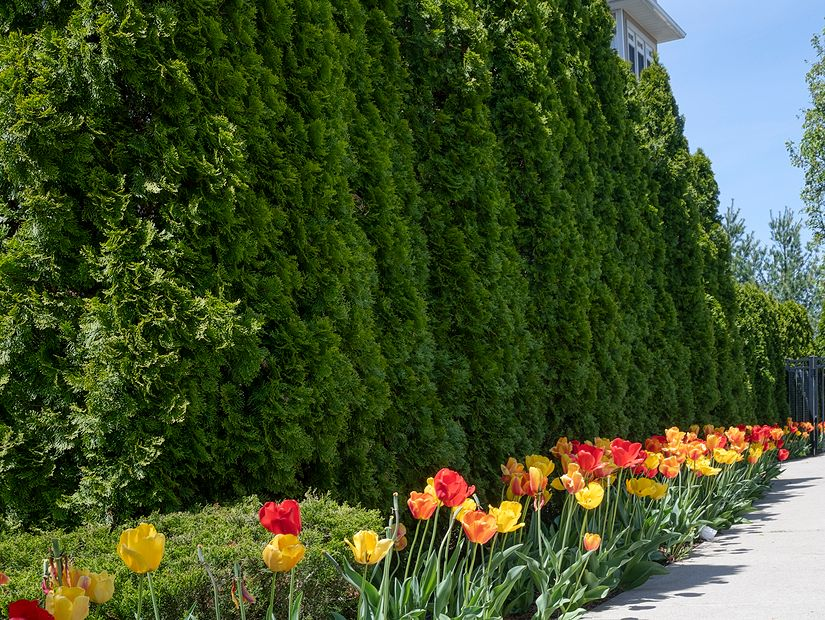 Trees with tulips