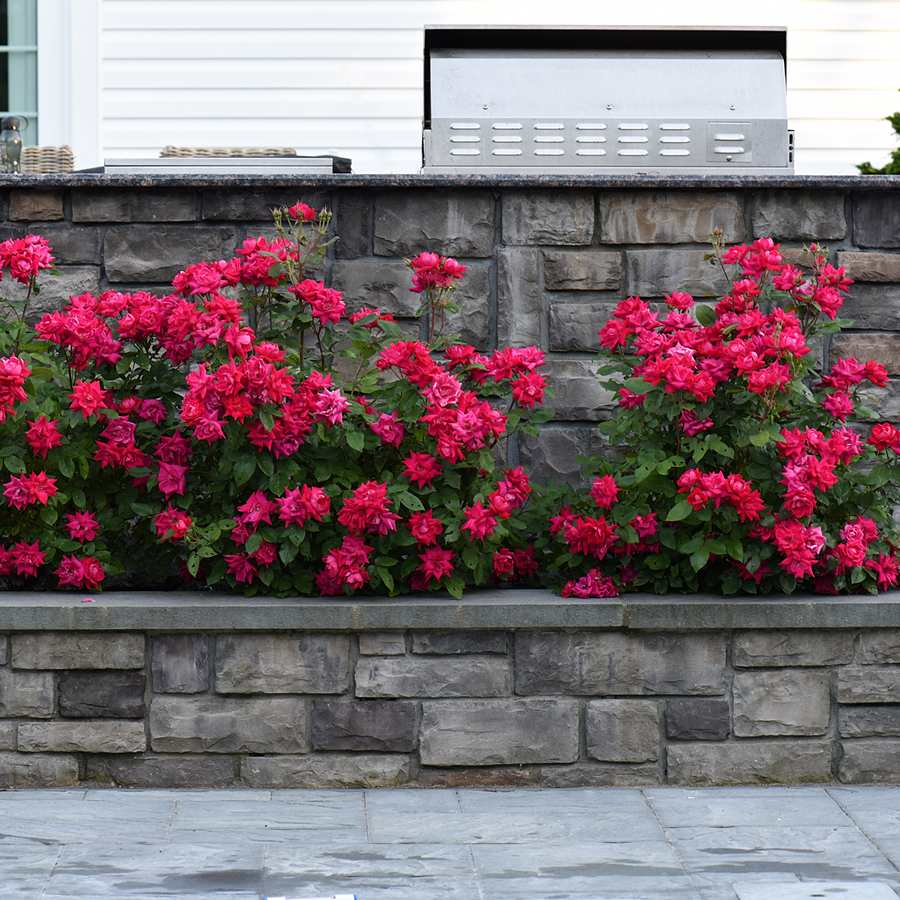 flower bed with red flowers