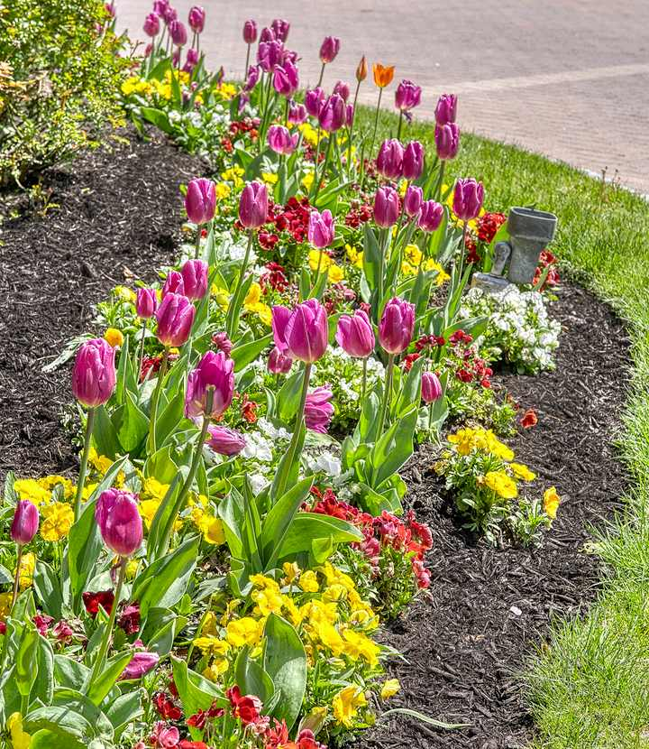 tulips in flower bed