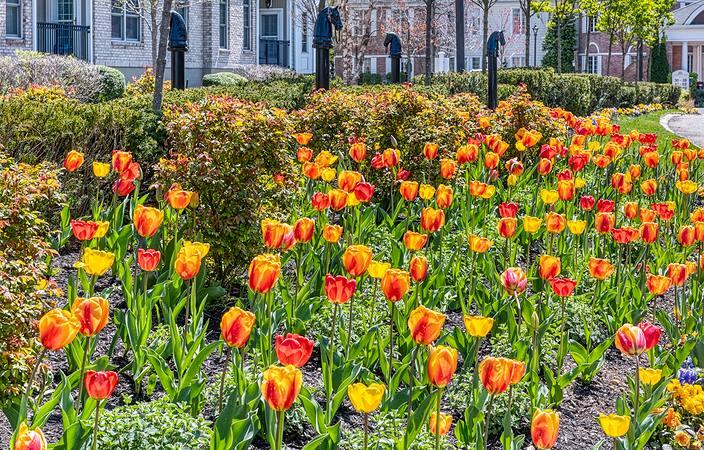tulip gardan